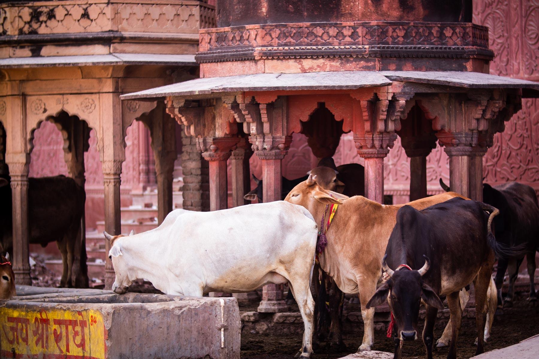 vrindavan-cows